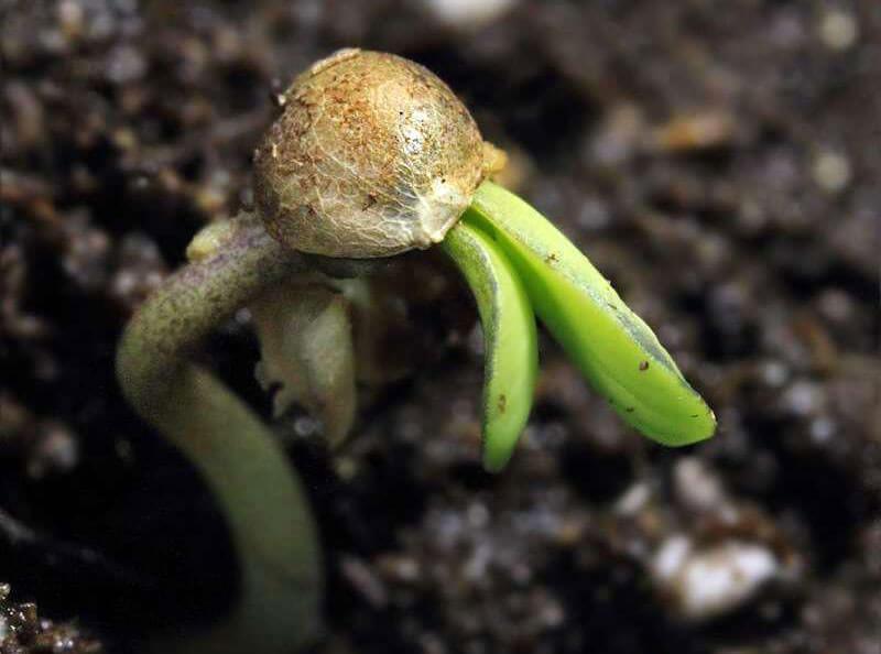 GROW DIARY | Germinazione