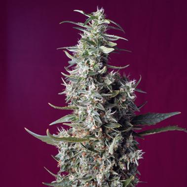 Sweet Cherry Pie - Sweet Seeds