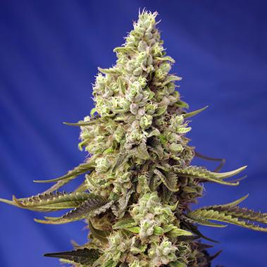 Runtz XL Auto - Sweet Seeds