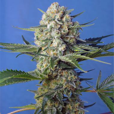 Crystal Candy Fast Version - Sweet Seeds